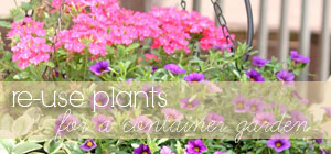 re-use plants for a container garden graphic